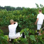 Chardonel Harvest - The Picking of the Grape