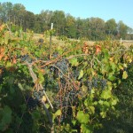 Chambourcin Harvest 2008 007