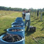 Chambourcin Harvest 2008 019
